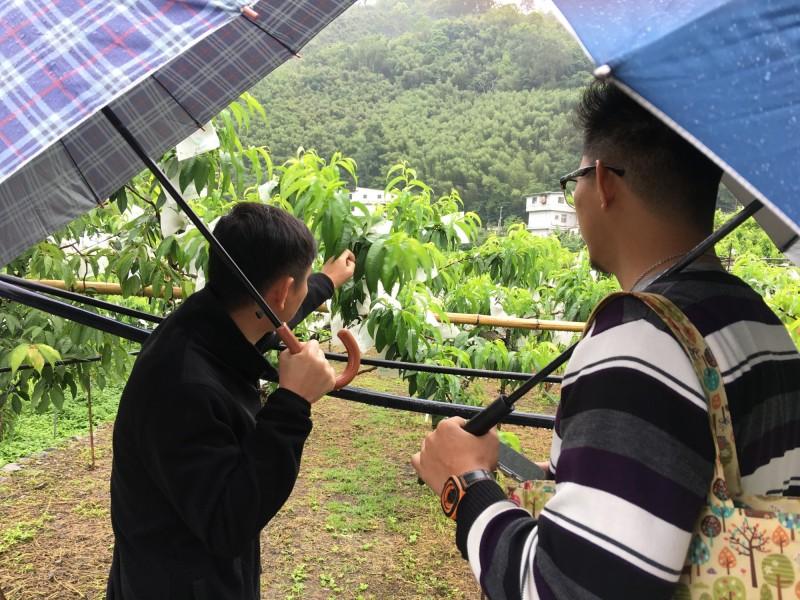 農業局人員上山查看水蜜桃欠收情形。(農業局提供)