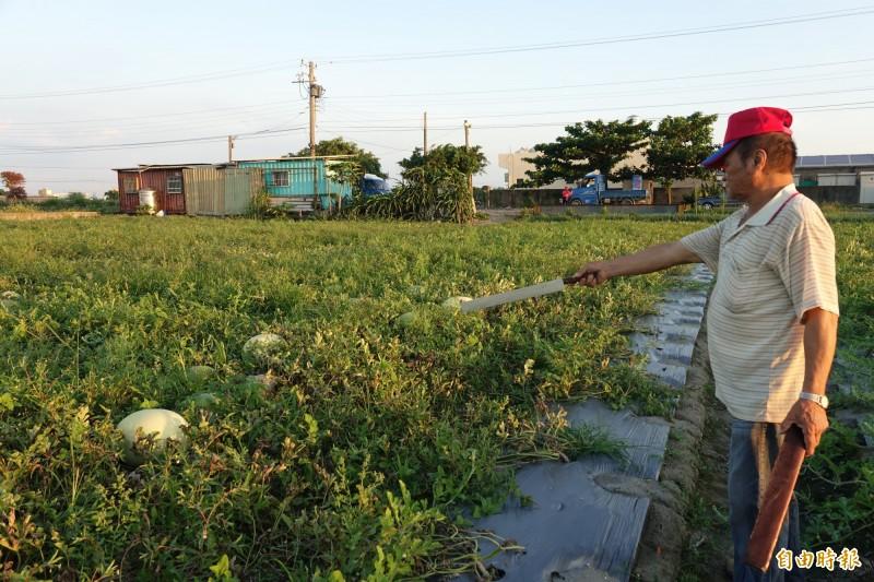 彰化福興西瓜班長許清池,指著爛掉的西瓜說,這些都沒用了。(記者劉曉欣攝)