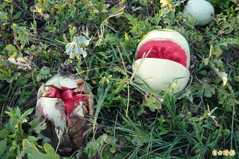 爛掉的西瓜,令瓜農痛心。(記者劉曉欣攝)