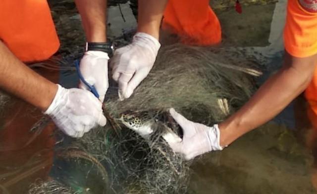 1隻綠蠵龜在台南曾文溪口遭廢棄漁網纏繞,第11案巡人員趕緊協助去除漁網。(記者楊金城翻攝)