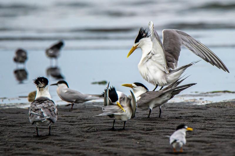 宜蘭縣沿海最近出現成群鳳頭燕鷗,但有隻成鳥因不慎被魚鉤卡住喉部,令鳥友心疼。(小賴提供)