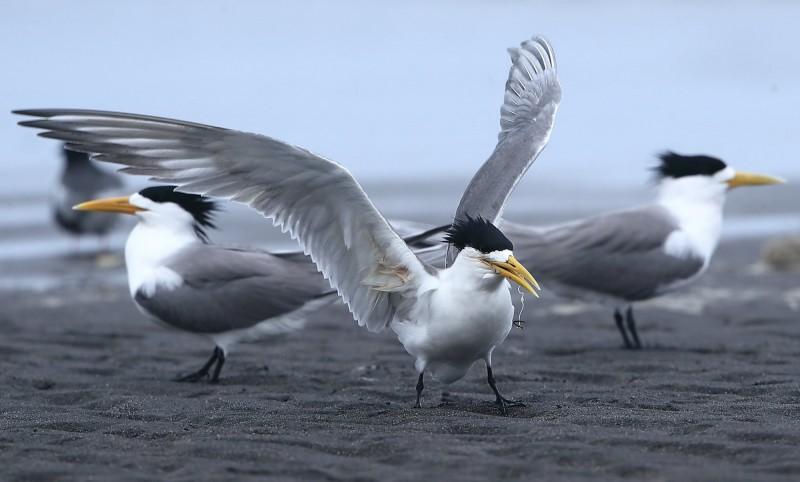 被魚鉤卡喉的鳳頭燕鷗,在海灘痛苦掙扎,令鳥友心疼。(攝影愛好者陳益謙提供)