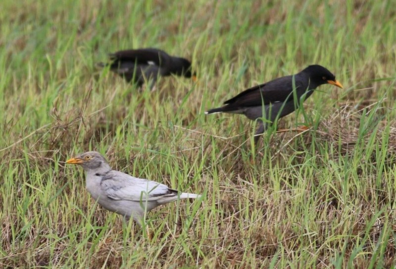 鳥友施俊吉在拍攝白尾八哥覓食時,意外拍到一隻極為罕見的基因突變種白化八哥。(施俊吉提供)