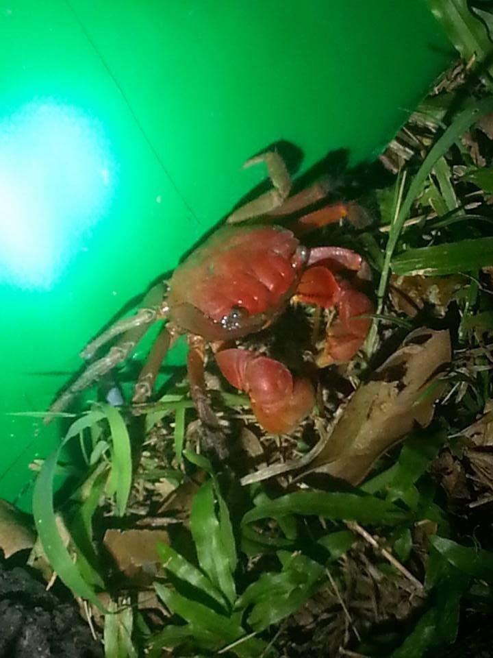 陸蟹被帆布阻隔後,雖然不會隨意越過,陸蟹獨特導航機制無法順利被引導,形成「迷航」狀態。(記者蔡宗憲翻攝)