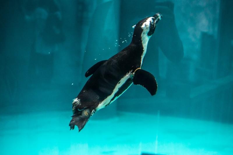 黑腳企鵝如果不下水就捕不到魚,用食物來增強黑腳企鵝下水的動力。(台北市立動物園提供)