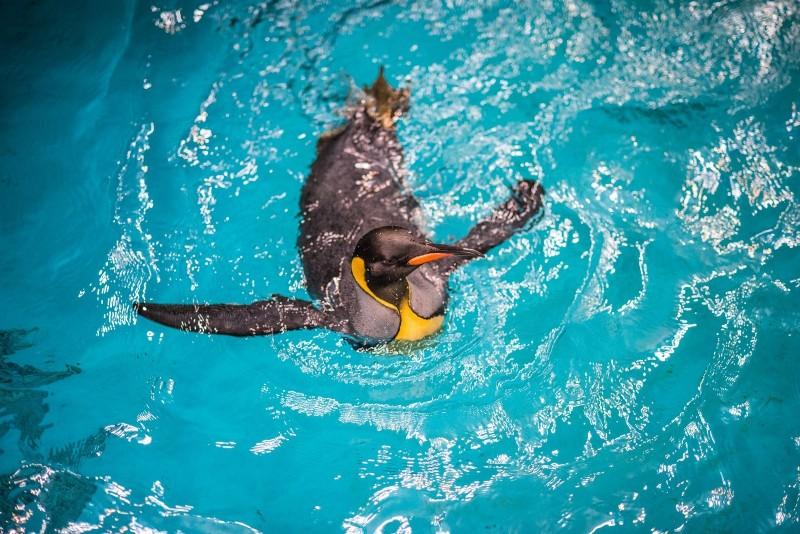 在國王企鵝繁殖季前,台北市立動物園推出晨泳特訓班。(台北市立動物園提供)