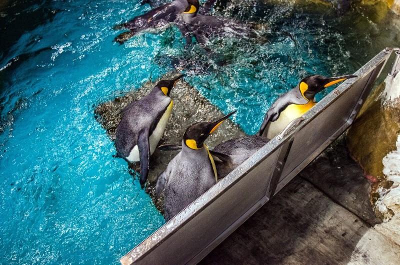 國王企鵝因為不須要捕魚很少下水。(台北市立動物園提供)