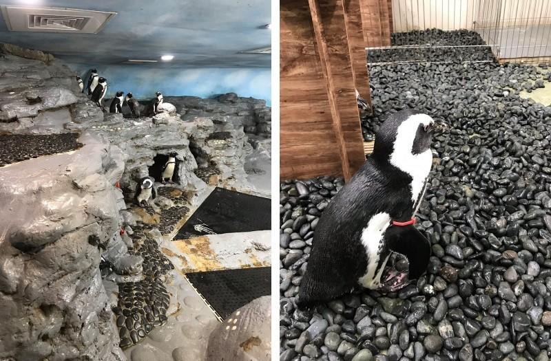 台北市立動物園向其他動物園洽詢學習,決定用鵝卵石鋪設企鵝專屬的健康步道。(台北市立動物園提供)