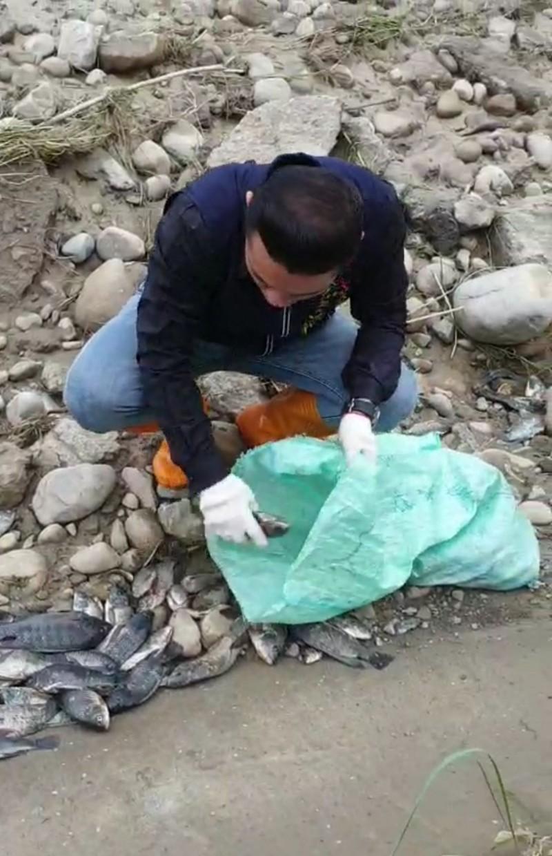 大里頭汴坑溪水退後出現大批擱淺死魚,立德里長江和樹今天早上帶著志工撿拾魚屍。(記者陳建志翻攝)