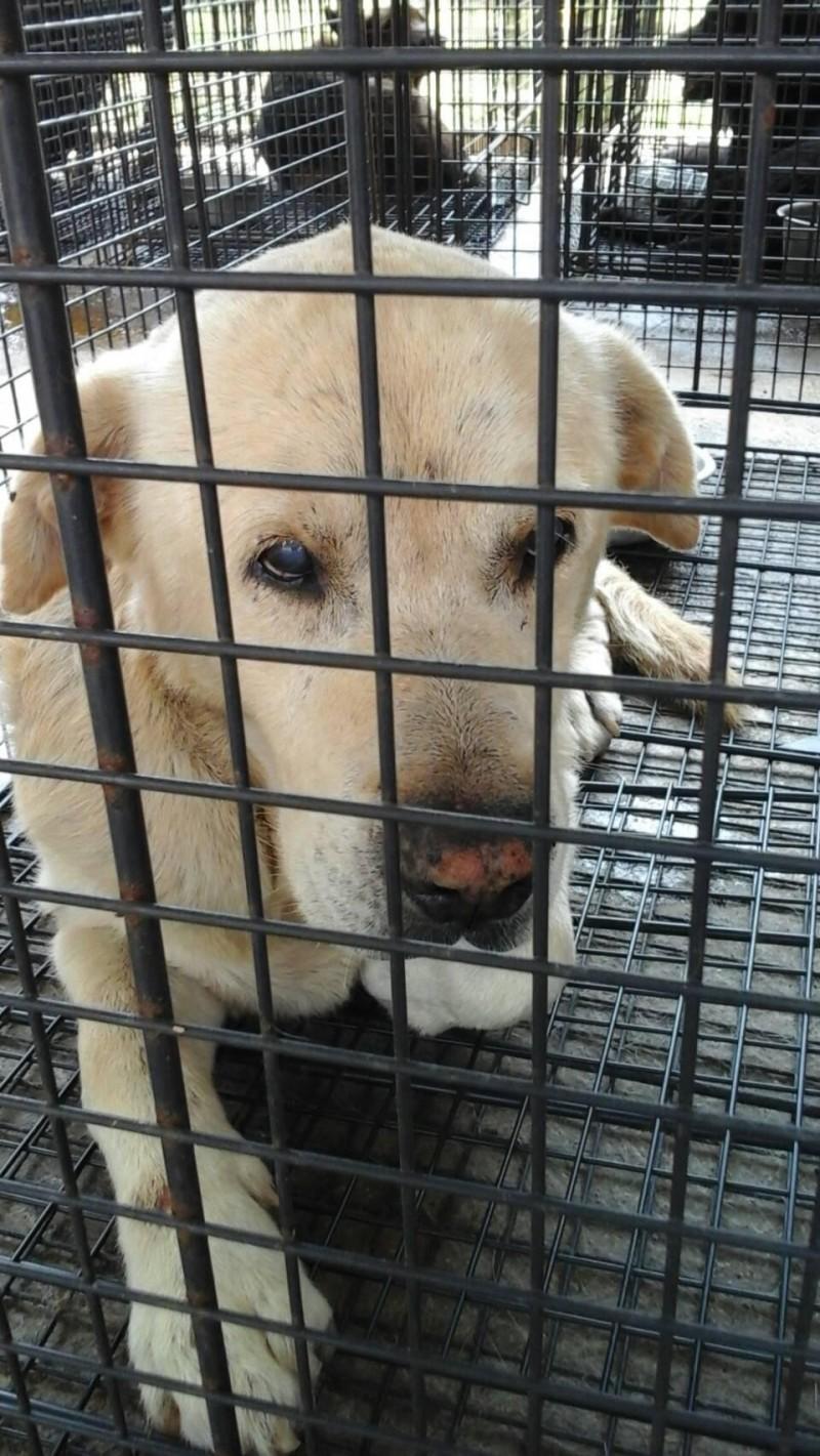 涉嫌行兇咬傷女童的拉不拉多混種犬,被放置在流浪犬收容中心「看管」。(澎湖家畜疾病防治所提供)