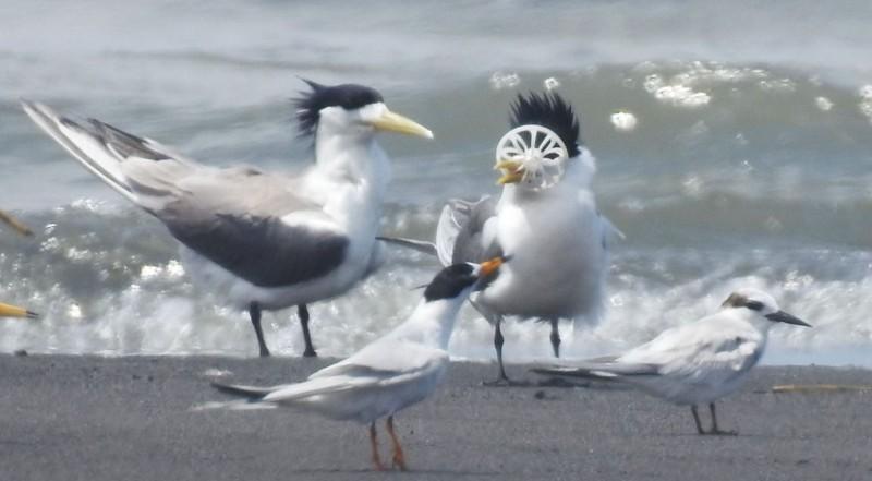 宜蘭縣蘭陽溪口沙洲,一隻鳳頭燕鷗嘴喙(右)被塑膠垃圾卡住,同伴也愛莫能助。(圖由拍鳥俱樂部李姓鳥友提供)