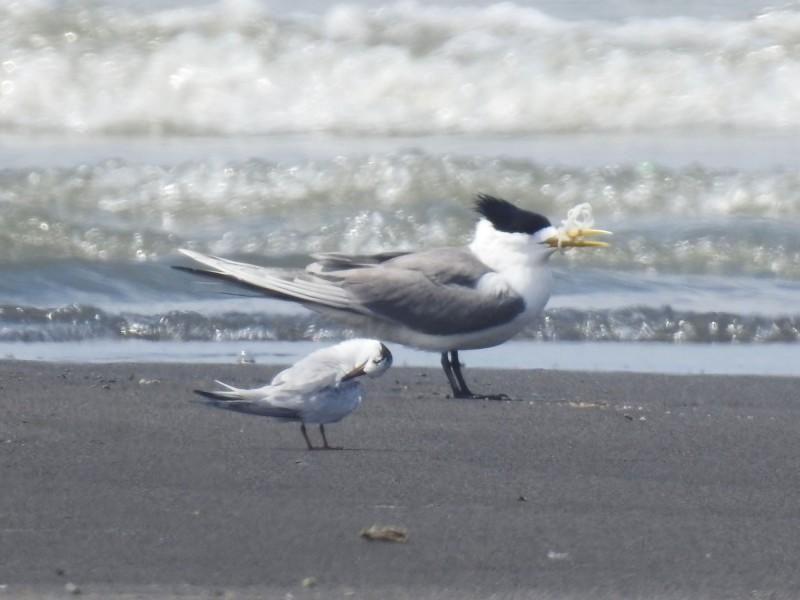 嘴喙卡著塑膠垃圾的鳳頭燕鷗,因無法進食,性命危在旦夕。(圖由拍鳥俱樂部李姓鳥友提供)