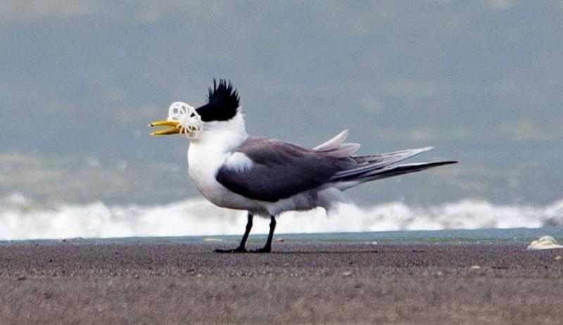 鳳頭燕鷗嘴喙卡著塑膠垃圾,悲慘畫面曝光後引起震撼。(圖由拍鳥俱樂部廖姓鳥友提供)