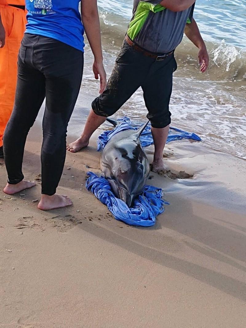今日上午一隻海豚擱淺在林投沙灘。(莊政哲提供)
