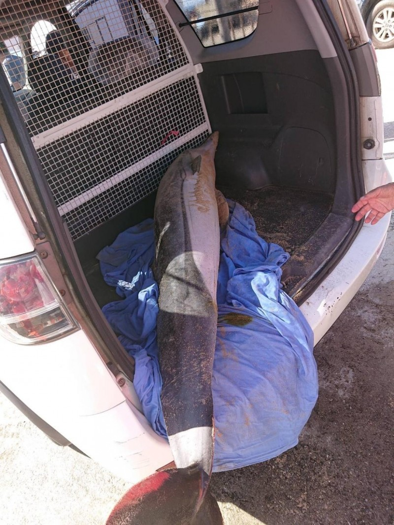 海豚死亡後,由農漁局生態保育科派員載走。(莊政哲提供)
