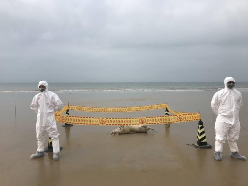 金門在金湖鎮尚義海灘岸際發現海漂豬屍,現場立刻拉起封鎖線,由防疫人員戒護。(金門縣政府提供)