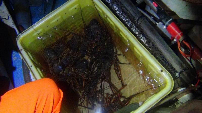 「天使7號」陳姓船長今年1月才雇工穿戴潛水裝備,潛水在海底抓到15隻(重約8斤)的活跳跳龍蝦。(記者林嘉東翻攝)