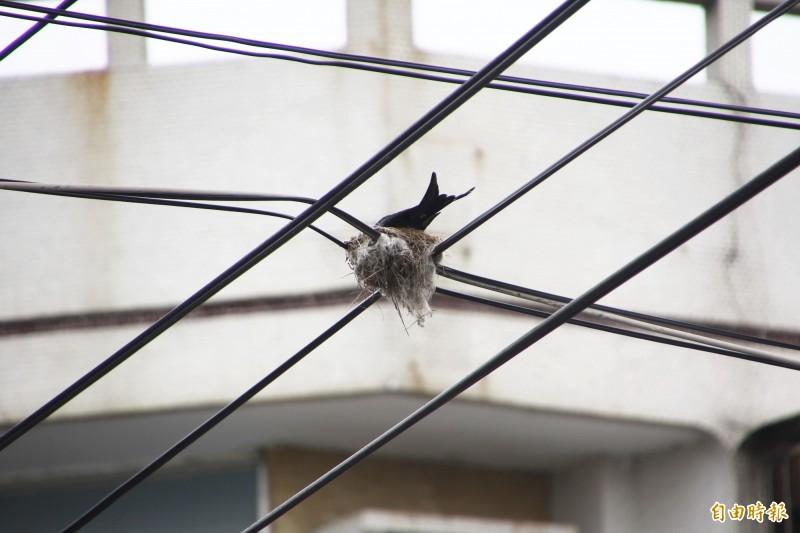 大卷尾在十字路口正上方交錯的電線上築巢,毫無遮蔽物,歷經1年多仍堅固。(記者林宜樟攝)