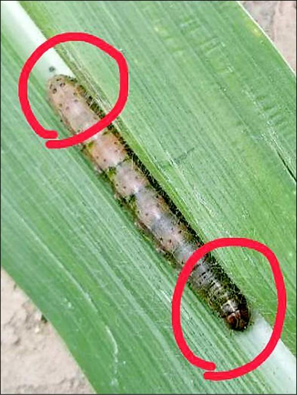 苗栗牧場證實出現秋行軍蟲。(讀者提供)