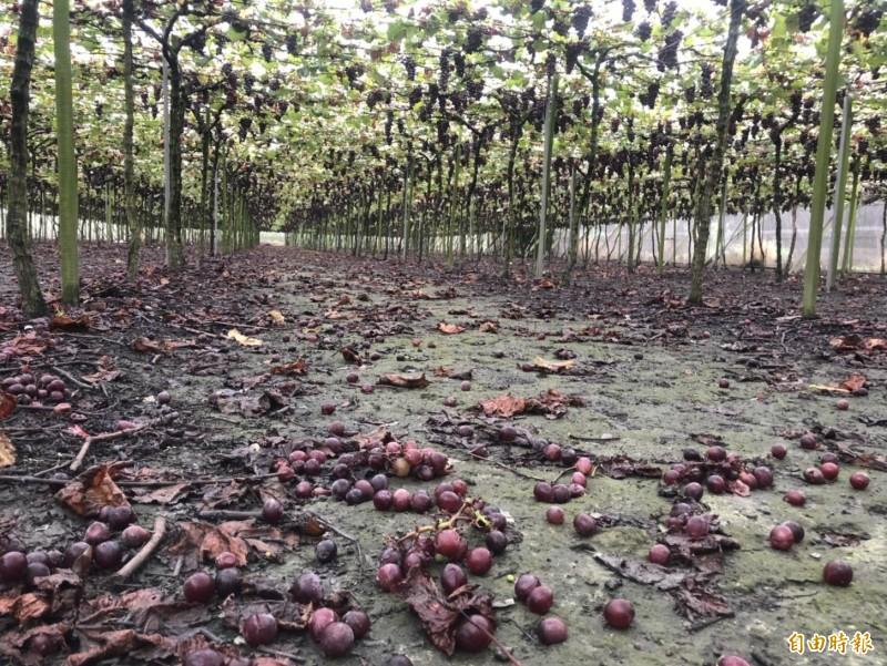 葡萄盛產期遇上梅雨不斷,葡萄出現著色不均、病變或落果等災害。(記者陳冠備攝)