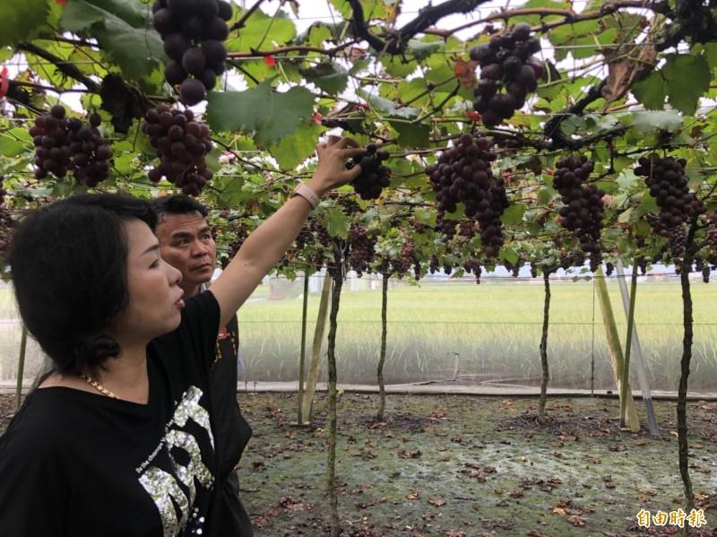 趁鋒面來襲前,湖埔社區大學執行長林淑玲(左1)陪同當地企業業者前往採收,幫助農民脫離困境。(記者陳冠備攝)