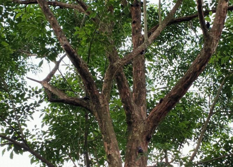 芬園鄉民蔡舜淼復育的獨角仙今年爆量高達逾3000隻,光蠟樹上棲息滿滿的獨角仙。(記者湯世名翻攝)