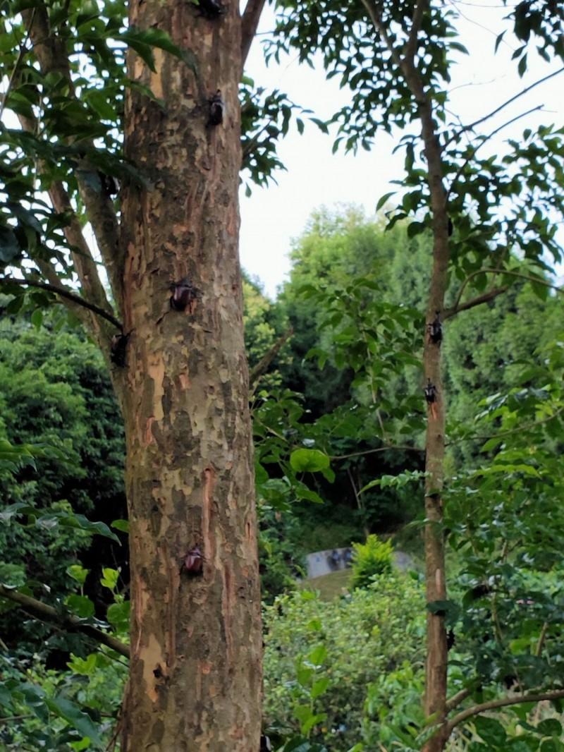 芬園鄉民蔡舜淼園區光蠟樹上棲息滿滿的獨角仙。(記者湯世名翻攝)