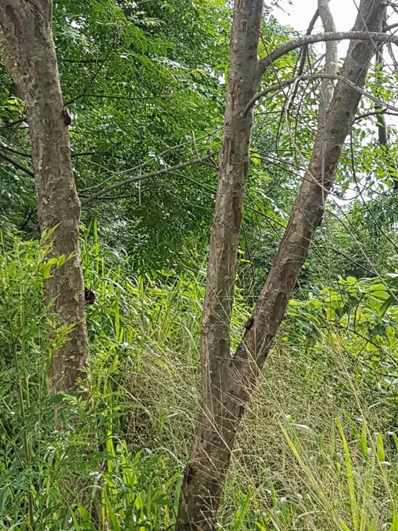 花壇鄉虎山巖大嶺巷一處天然光臘樹秘境,獨角仙被民眾、業者捕捉,數量所剩不多。(記者湯世名翻攝)