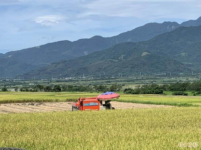 台東縣一期稻作進入收成期。(記者張存薇攝)