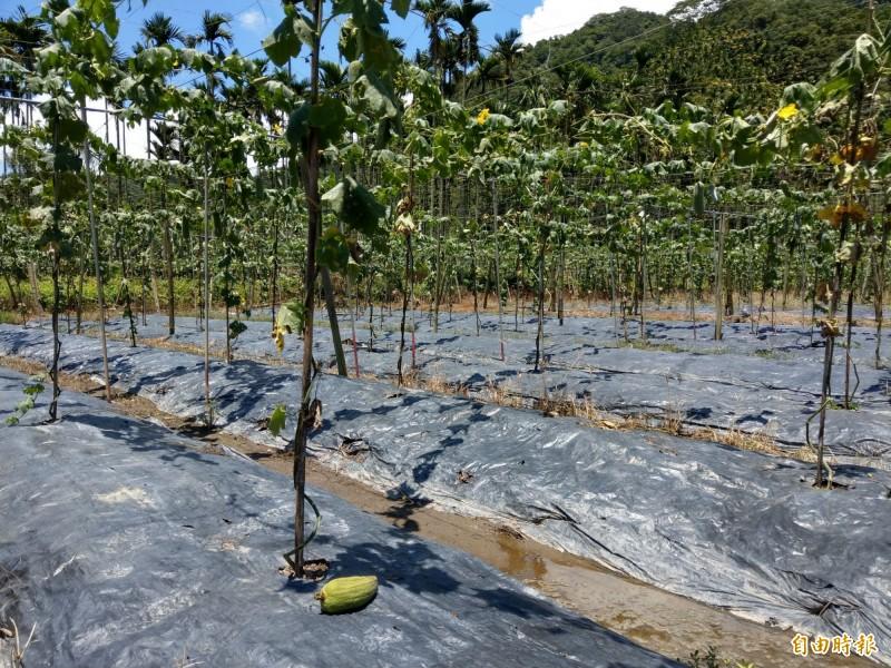 受烈日與午後大雨影響,日月潭頭社絲瓜產量大減六成,田間可見落果、積水情況。(記者劉濱銓攝)