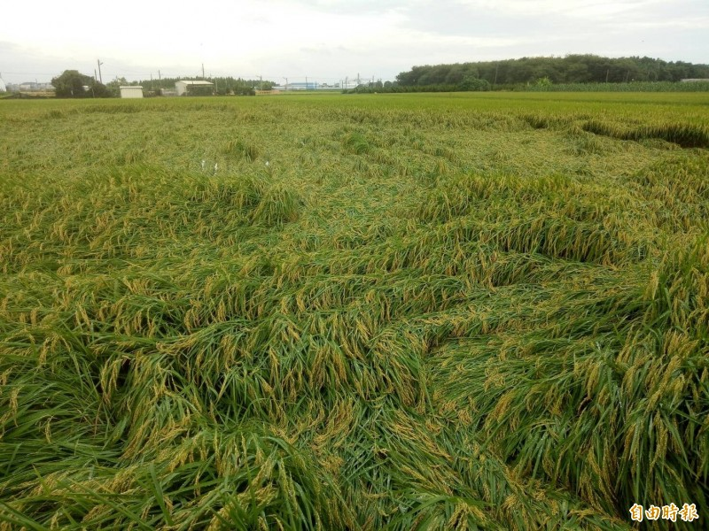 一期稻作在大雨後出現倒伏的狀況,讓農民憂心忡忡。(記者廖淑玲攝)