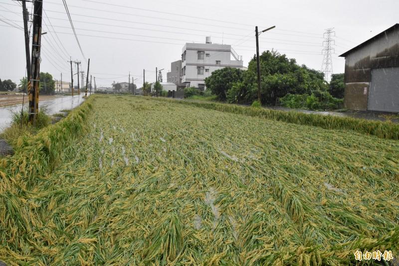 豪雨轟炸雲林一期稻作倒伏災情擴大。(記者黃淑莉攝)