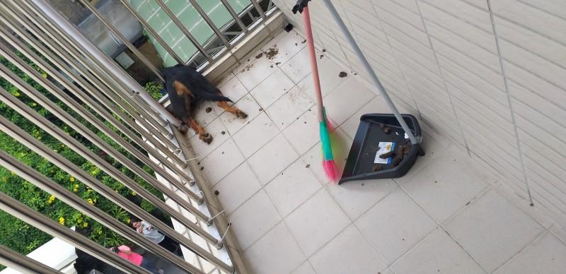 狗兒疑掙扎、衝出陽台,不料卡在欄杆上死亡。(嘉義市動物守護協會提供)