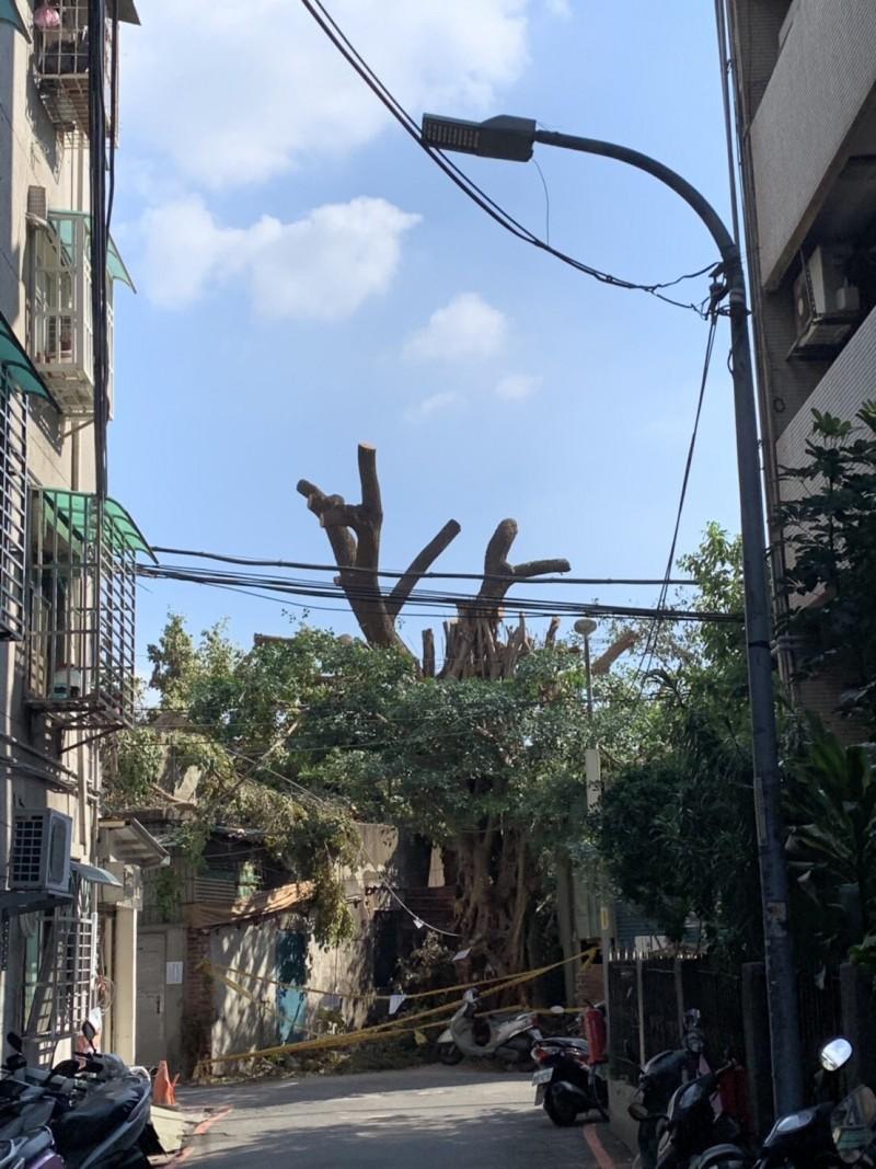 倖存的榕樹,已經光頭。(新北市政府提供)
