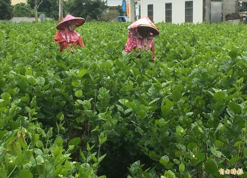 受氣候異常等因素影響,今年花壇鄉茉莉花產量大減7成,創歷來新高。(記者湯世名攝)