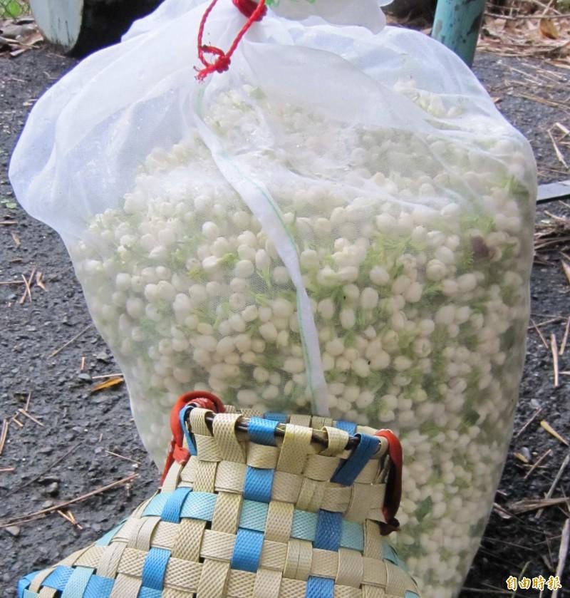 受氣候異常等因素影響,今年花壇鄉茉莉花產量大減7成,創歷來新高,花農抓緊時間採收茉莉花苞。(記者湯世名攝)