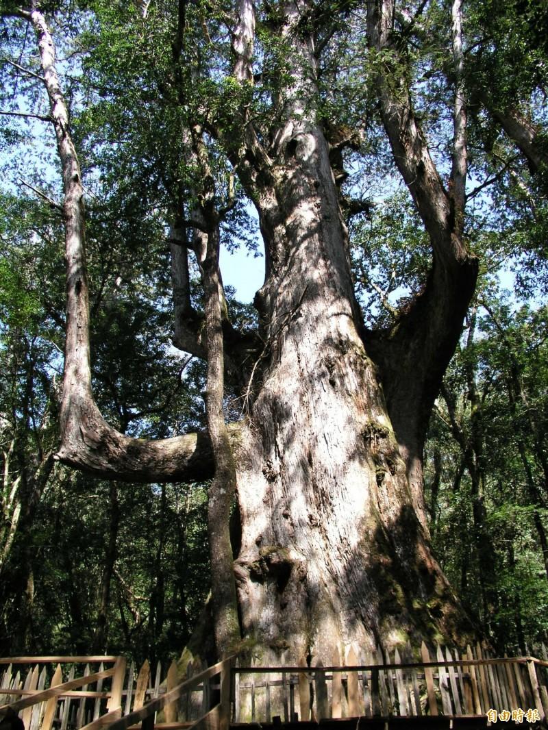 因應暑假旅遊旺季,司馬庫斯部落聯絡道道路品質改善工程暑假將暫停封路施工,圖為著名的老爺巨木。(記者廖雪茹攝)