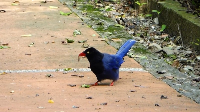 奧萬大的台灣藍鵲尖喙上叼著毛毛蟲。(南投林管處提供)
