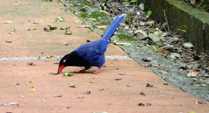 台灣藍鵲把毛毛蟲在地上翻面再搓。(南投林管處提供)