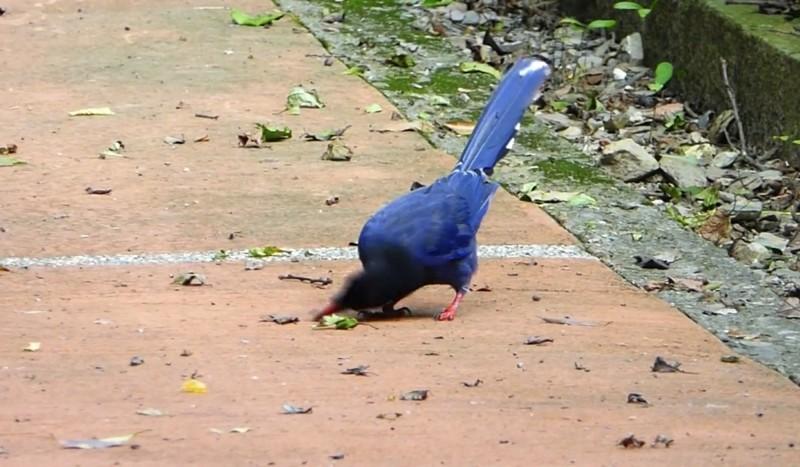 台灣藍鵲扭著頭用力地讓毛毛蟲在地上左搓右磨。(南投林管處提供)