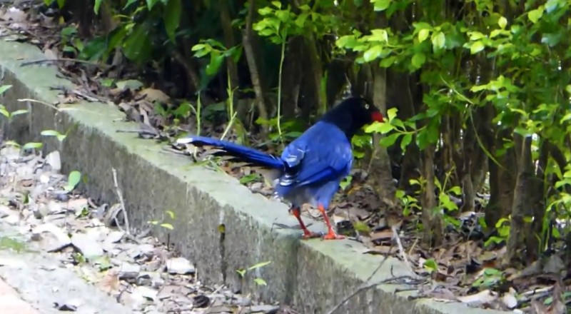 終於享用完餐點的台灣藍鵲,跳離該點準備往下個目標前進。(南投林管處提供)