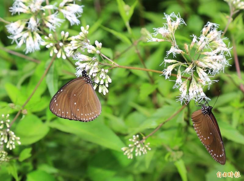 大坑生態園區復育蝶類有成,紫斑蝶過境大坑。(記者蔡淑媛攝)