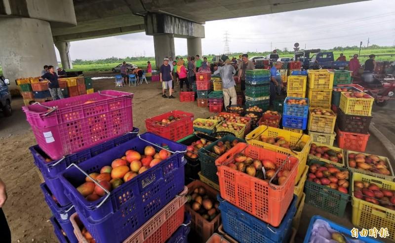 官田臨時芒果集貨場,果農載芒果來交貨,保價收購忙碌。(記者楊金城攝)