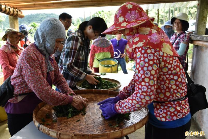 古坑女茶隊成員以手揉茶。(記者黃淑莉攝)
