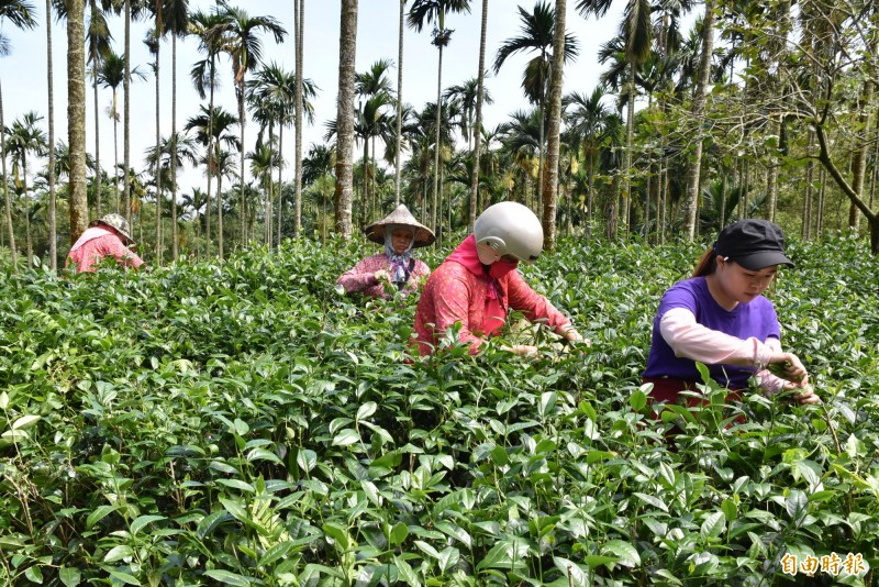 古坑桂林女茶隊成員採茶比賽。(記者黃淑莉攝)