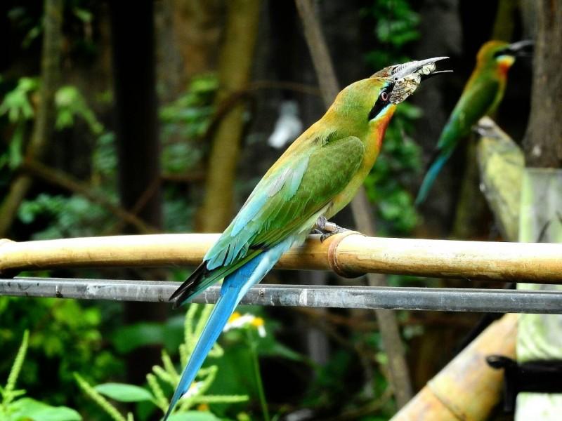 在台北市立動物園就能目睹栗喉蜂虎可愛模樣。(拍鳥俱樂部成員陳雅歌拍攝)