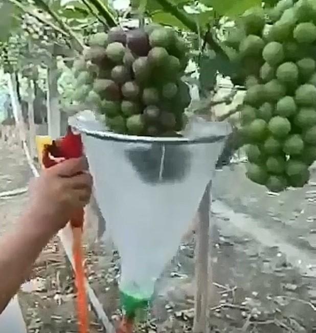 網路瘋傳葡萄催色劑,農改場專家強調這是中國影片。(取自網路)