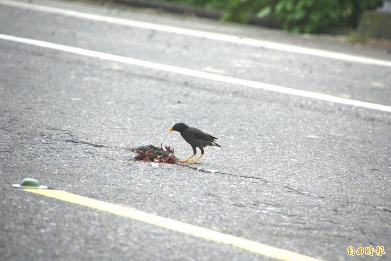 八哥在紅鳩的屍體旁不走。(記者林宜樟攝)