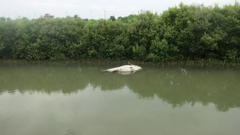 鳥友在一條大潮溝,發現「陳屍」一尾重達百餘斤重的大龍膽石斑。(葉姓鳥友提供)