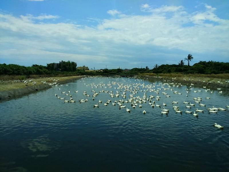 彰化爆發今年第一場肉鴨禽流感。(記者劉曉欣翻攝)